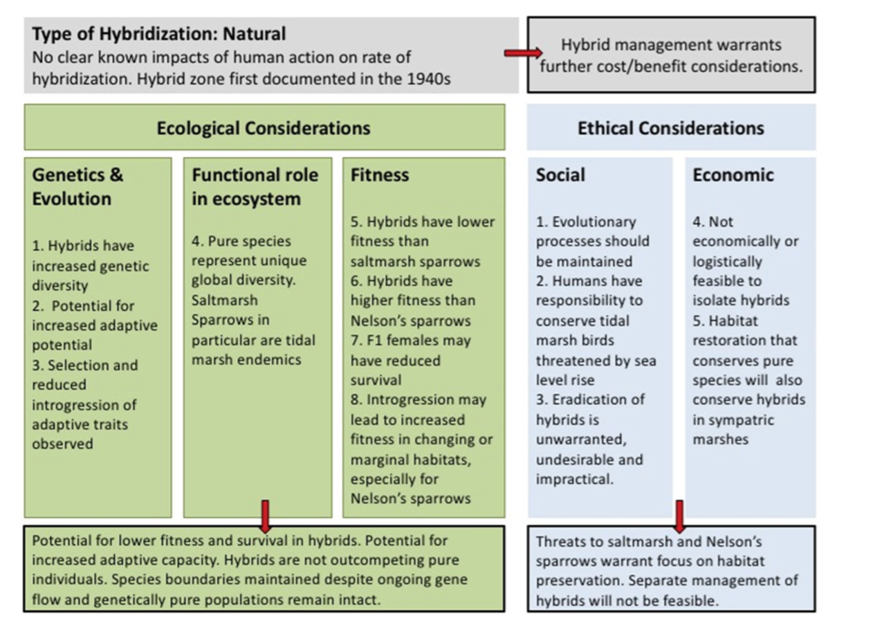 Flow chart outlining considerations for decision making with respect to the conservation of saltmarsh-Nelson's sparrow hybrids.